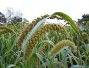 Millet - Prevent Diabetes
